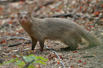 Indian grey mongoose, common grey mongoose (Herpestes edwardsii)