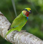 Edwards's fig parrot, scarlet-cheeked fig parrot (Psittaculirostris edwardsii)