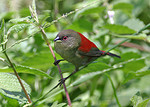 Abyssinian crimsonwing, crimson-backed forest finch (Cryptospiza salvadorii)