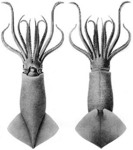 Onykia ingens (greater hooked squid)