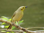 yellow-tinted honeyeater (Ptilotula flavescens)