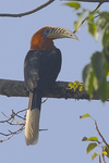 rufous-necked hornbill (Aceros nipalensis)