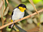 yellow-backed tanager (Hemithraupis flavicollis)