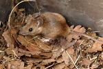 yellow-necked mouse, yellow-necked wood mouse (Apodemus flavicollis)