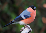 Eurasian bullfinch, common bullfinch (Pyrrhula pyrrhula)