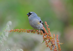 grey-headed bullfinch (Pyrrhula erythaca)
