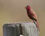 crimson finch, blood finch (Neochmia phaeton)