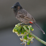 red-vented bulbul (Pycnonotus cafer)