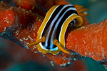 Chromodoris quadricolor (Pyjama chromodorid)