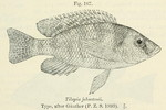 Placidochromis johnstoni