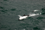Commerson's dolphin, panda dolphin (Cephalorhynchus commersonii)