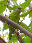 Tovi parakeet, orange-chinned parakeet (Brotogeris jugularis)