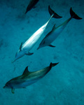Atlantic spotted dolphin (Stenella frontalis)