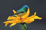 collared sunbird, (Hedydipna collaris)