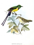 Nile Valley sunbird (Hedydipna metallica)