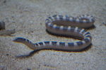 Hydrophis ornatus (ornate reef sea snake)