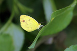 Eurema lisa euterpe (little yellow, little sulphur)