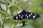 Amata phegea, nine-spotted moth