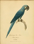 glaucous macaw (Anodorhynchus glaucus)