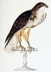 white-throated hawk, Buteo albigula