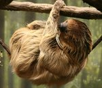 Linnaeus's two-toed sloth, southern two-toed sloth (Choloepus didactylus)