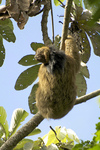 maned sloth, ai, maned three-toed sloth (Bradypus torquatus)