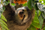 pale-throated sloth, pale-throated three-toed sloth (Bradypus tridactylus)