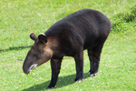 mountain tapir, woolly tapir (Tapirus pinchaque)