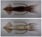 Nototodarus sloanii (New Zealand arrow squid, Wellington flying squid)