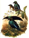 superb bird-of-paradise (Lophorina superba)
