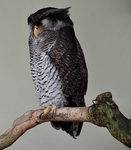 barred eagle-owl, Malay eagle-owl (Bubo sumatranus)