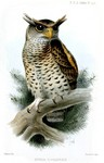 spot-bellied eagle-owl, forest eagle-owl (Bubo nipalensis)