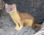 long-tailed weasel, bridled weasel (Mustela frenata)