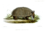 screaming hairy armadillo (Chaetophractus vellerosus)
