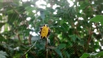 Gasteracantha cancriformis (spinybacked orbweaver spider)