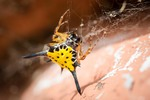 Gasteracantha hasselti (Hasselt's spiny spider)