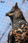 crowned hawk-eagle (Stephanoaetus coronatus)