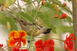 variable sunbird, yellow-bellied sunbird (Cinnyris venustus)