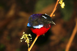 black-headed pitta (Erythropitta ussheri)