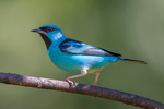 blue dacnis, turquoise honeycreeper (Dacnis cayana) adult male