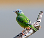 blue dacnis, turquoise honeycreeper (Dacnis cayana) adult female
