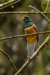 orange-bellied trogon (Trogon aurantiiventris)