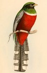collared trogon (Trogon collaris) male