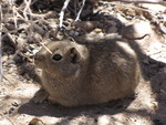 southern mountain cavy (Microcavia australis)