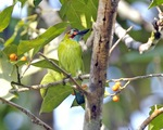 blue-eared barbet (Psilopogon duvaucelii)