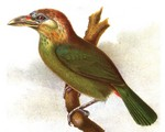 red-vented barbet (Psilopogon lagrandieri)