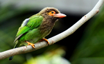 brown-headed barbet, large green barbet (Psilopogon zeylanicus)
