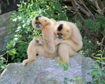 yellow-cheeked gibbon (Nomascus gabriellae)