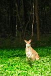agile wallaby, sandy wallaby (Macropus agilis)