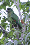 black-billed amazon (Amazona agilis)